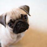 Upside Down Flappy Pug
